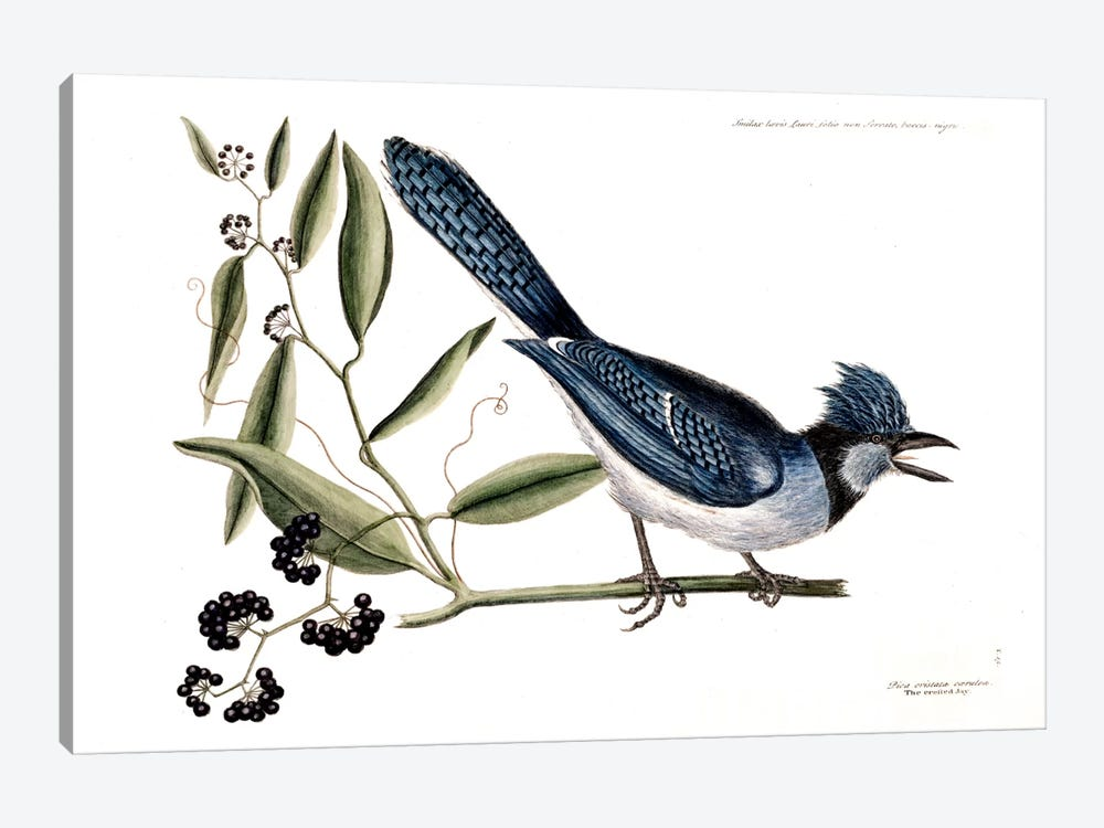 Blue Jay & Bay-Leaved Smilax by Mark Catesby 1-piece Canvas Artwork