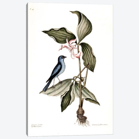 Blue Linnet & Solanum (Nightshade) Canvas Print #CAT26} by Mark Catesby Canvas Print