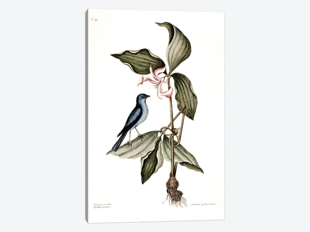 Blue Linnet & Solanum (Nightshade) by Mark Catesby 1-piece Art Print