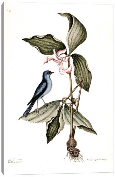 Blue Linnet & Solanum (Nightshade) Canvas Art Print