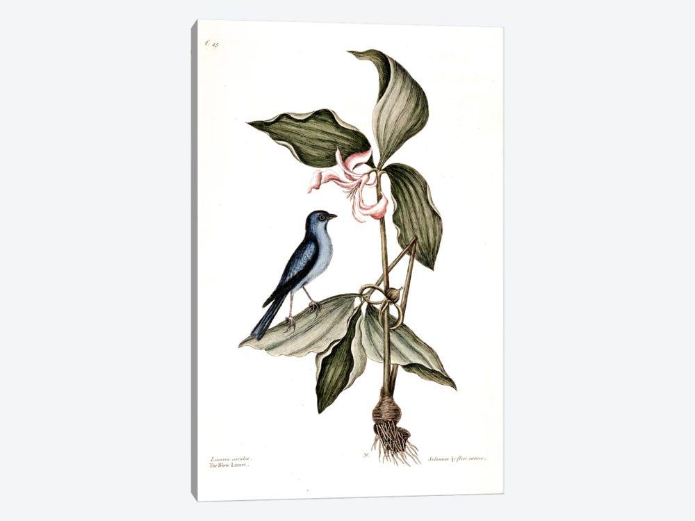 Blue Linnet & Solanum (Nightshade) by Mark Catesby 1-piece Art Print