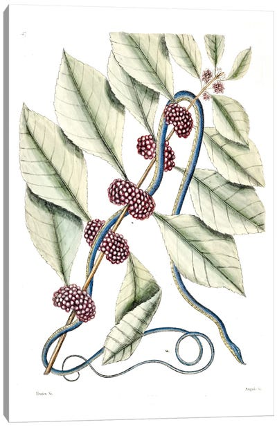 Blueish Green Snake & (Callicarpa Americana) American Beautyberry Canvas Art Print