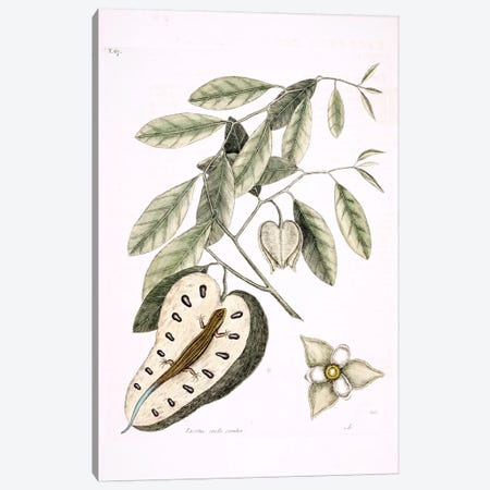 Blue-Tailed Lizard & Anonna Palustris Canvas Print #CAT28} by Mark Catesby Canvas Artwork