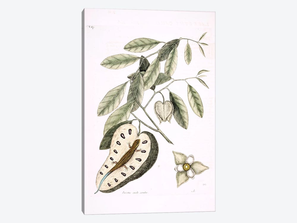 Blue-Tailed Lizard & Anonna Palustris by Mark Catesby 1-piece Canvas Print