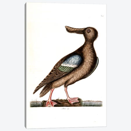 Blue-Winged Shoveler Canvas Print #CAT29} by Mark Catesby Canvas Art