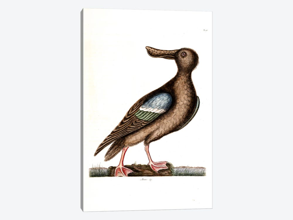 Blue-Winged Shoveler by Mark Catesby 1-piece Canvas Wall Art