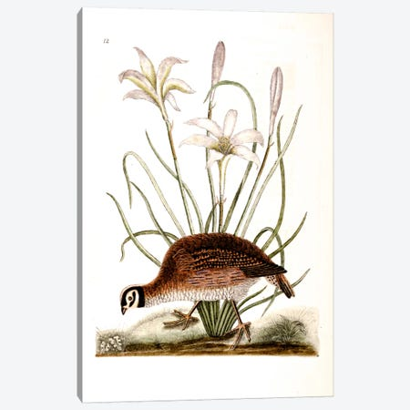 American Partridge & Attamusco Lily Canvas Print #CAT2} by Mark Catesby Art Print