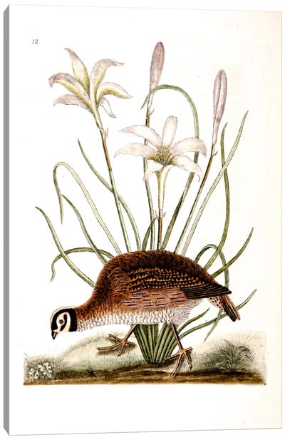 American Partridge & Attamusco Lily Canvas Art Print