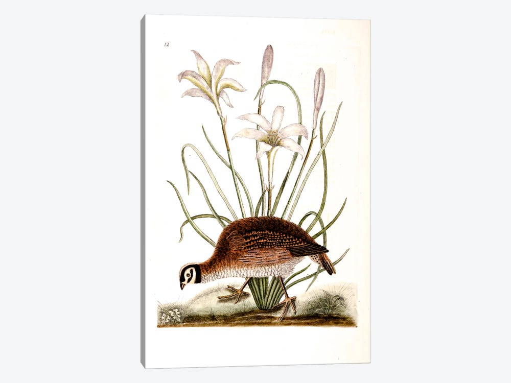 American Partridge & Attamusco Lily by Mark Catesby 1-piece Canvas Wall Art