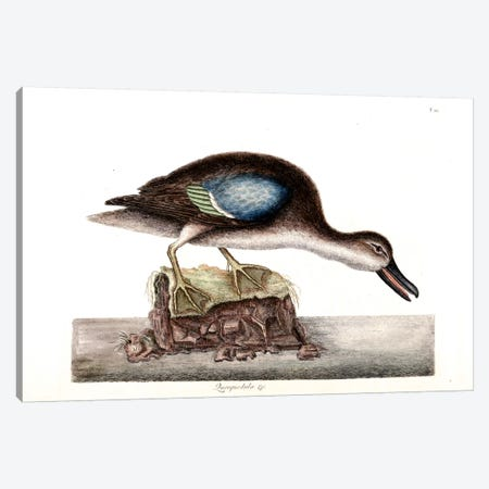 Blue-Winged Teal Canvas Print #CAT30} by Mark Catesby Canvas Print