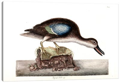 Catesby's Natural History Series: Blue-Winged Teal Canvas Print #CAT30
