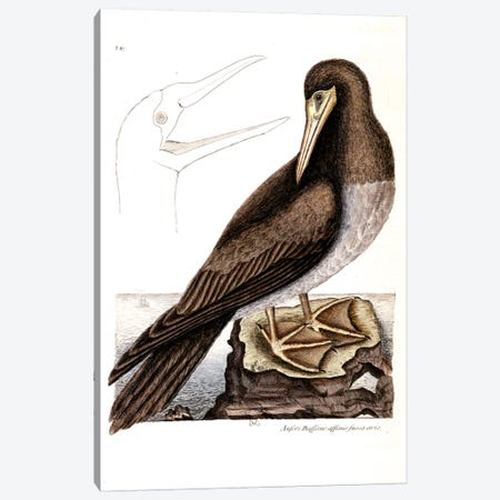 Booby Canvas Print #CAT31} by Mark Catesby Canvas Art Print