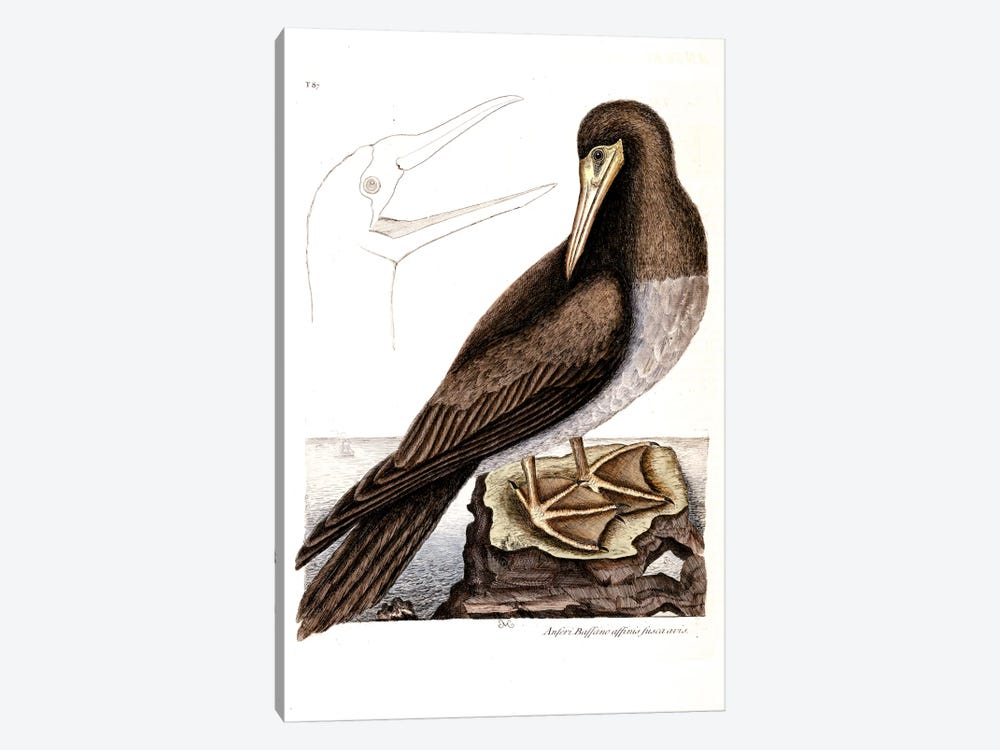 Booby by Mark Catesby 1-piece Art Print