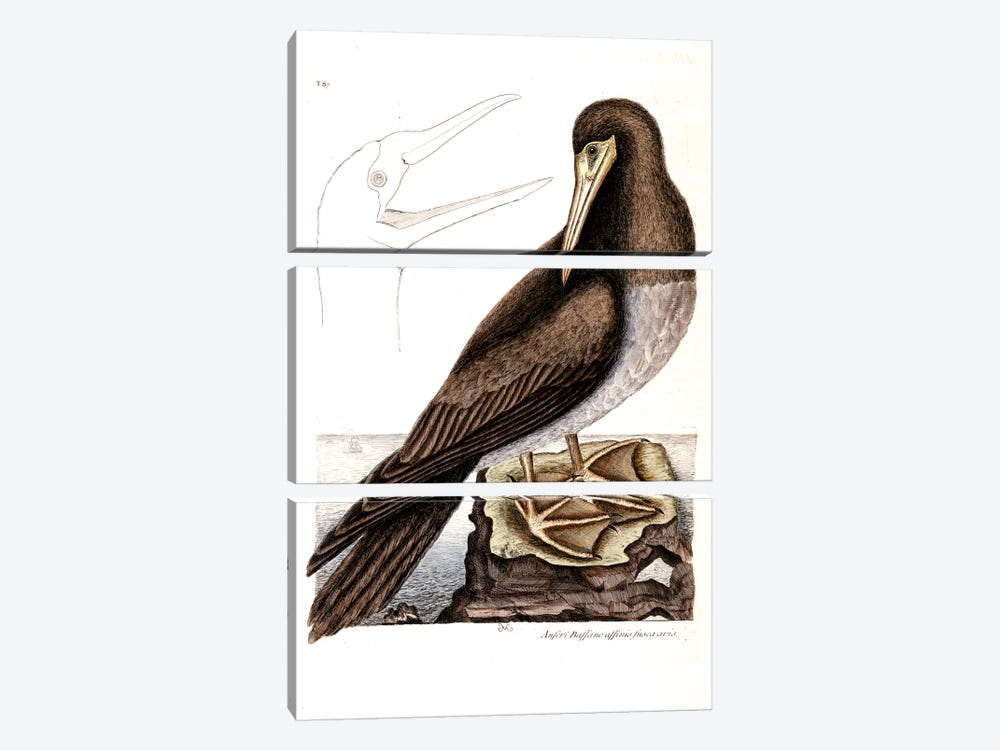 Booby by Mark Catesby 3-piece Canvas Print