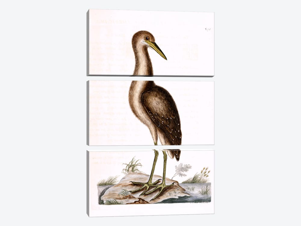 Brown Bittern by Mark Catesby 3-piece Canvas Wall Art