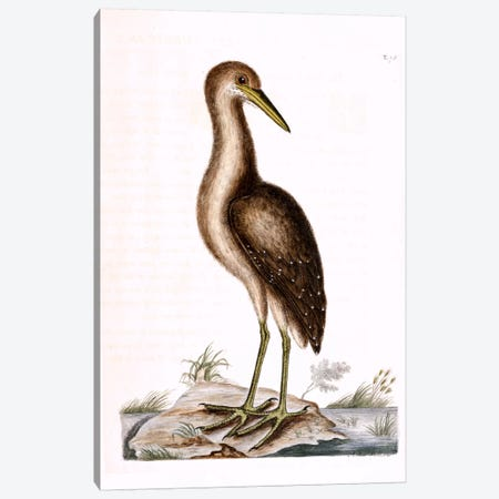 Brown Bittern Canvas Print #CAT32} by Mark Catesby Art Print
