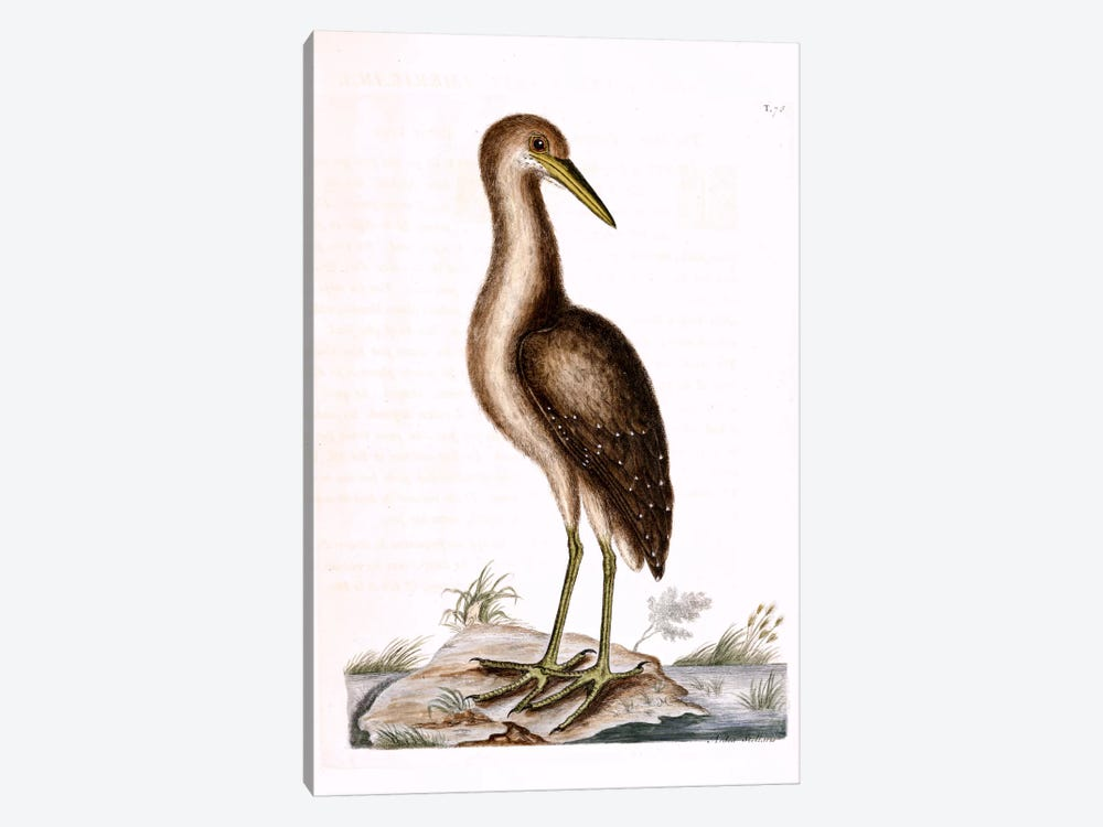 Brown Bittern by Mark Catesby 1-piece Canvas Wall Art