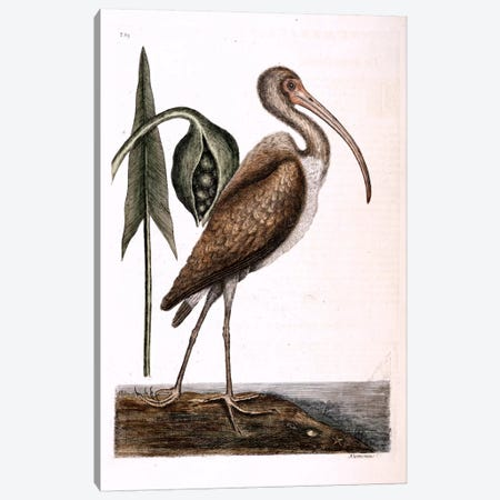 Brown Curlew & Arrow Arum Canvas Print #CAT33} by Mark Catesby Canvas Print