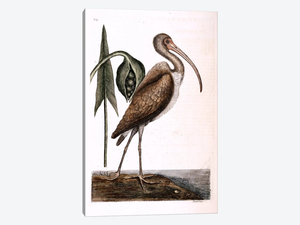 Brown Curlew & Arrow Arum by Mark Catesby 1-piece Art Print
