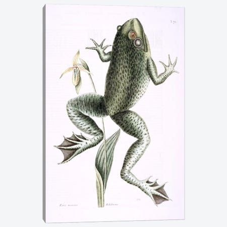 Bull Frog & Lady's Slipper Of Pennsylvania Canvas Print #CAT35} by Mark Catesby Canvas Art
