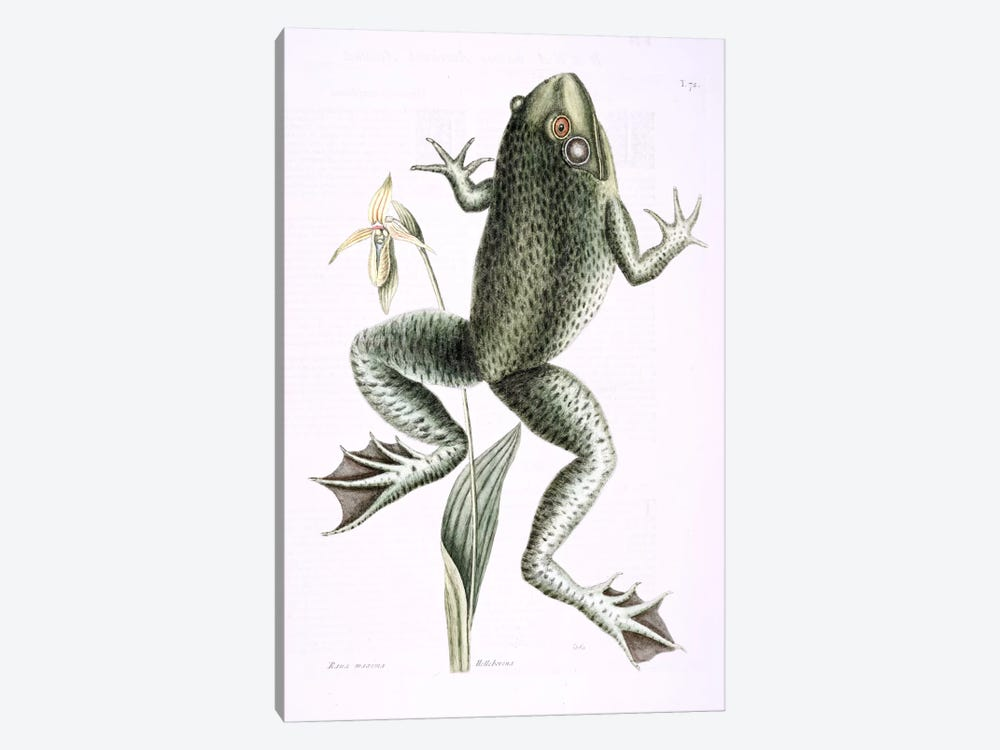 Bull Frog & Lady's Slipper Of Pennsylvania by Mark Catesby 1-piece Canvas Art Print