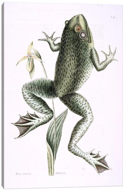Bull Frog & Lady's Slipper Of Pennsylvania Canvas Art Print
