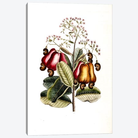 Cashew Tree Canvas Print #CAT38} by Mark Catesby Art Print
