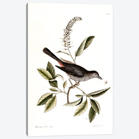 Cat Bird & Alnifolia Americana Canvas Print #CAT39} by Mark Catesby Art Print