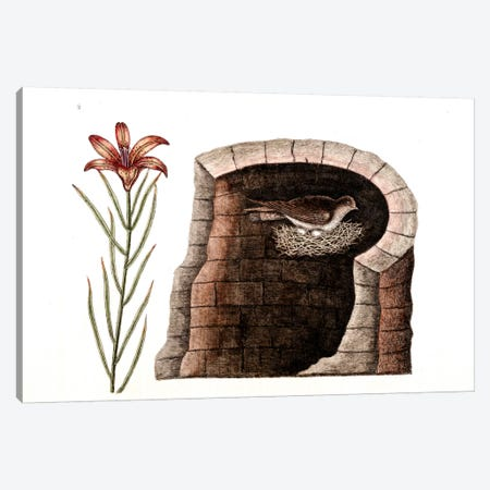 American Swallow & Fire Lily Canvas Print #CAT3} by Mark Catesby Art Print