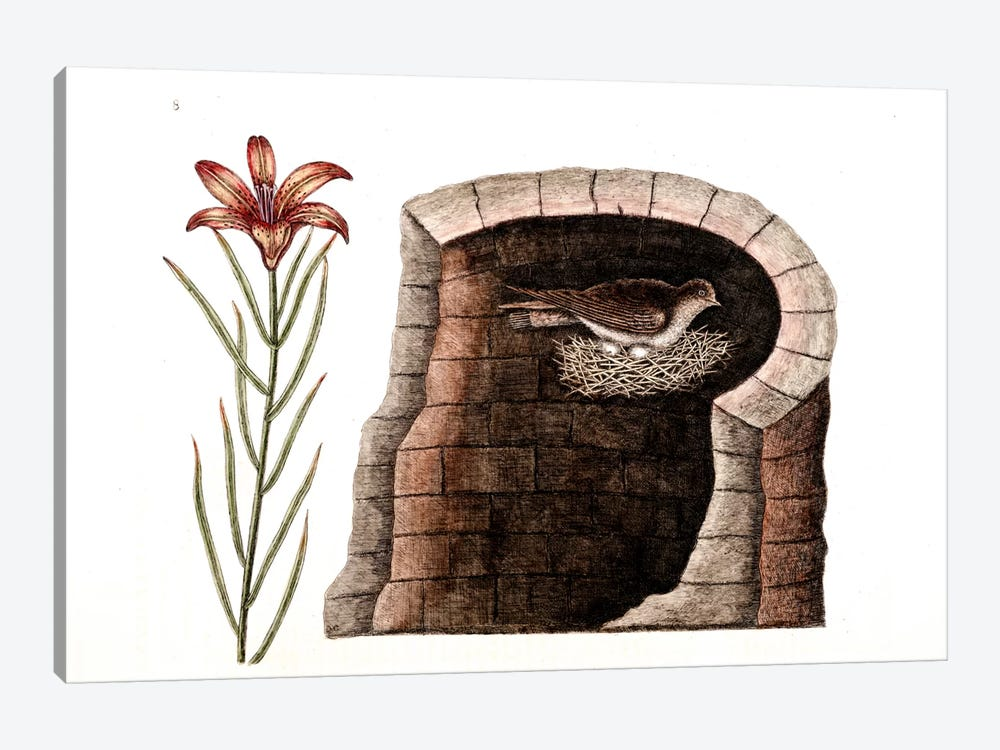 American Swallow & Fire Lily by Mark Catesby 1-piece Canvas Art Print