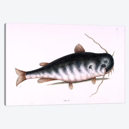 Cat Fish Canvas Print #CAT40} by Mark Catesby Canvas Art