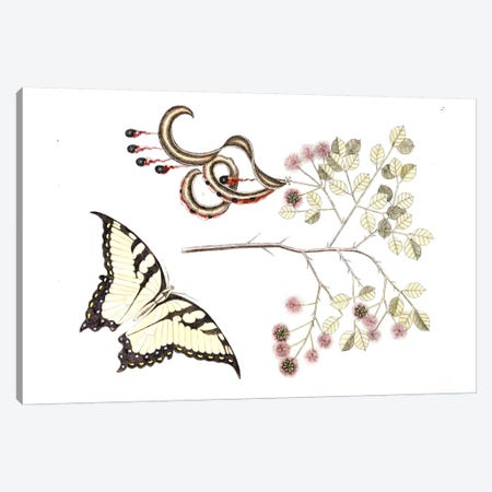 Cat's Claw & Eastern Tiger Swallowtail Canvas Print #CAT41} by Mark Catesby Canvas Artwork