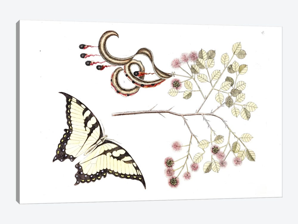 Cat's Claw & Eastern Tiger Swallowtail by Mark Catesby 1-piece Canvas Wall Art