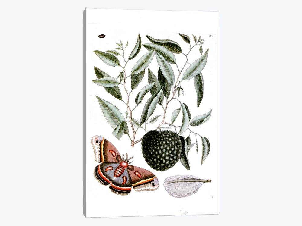 Cecropia Moth & Annona Reticulata (Custard Apple) by Mark Catesby 1-piece Art Print