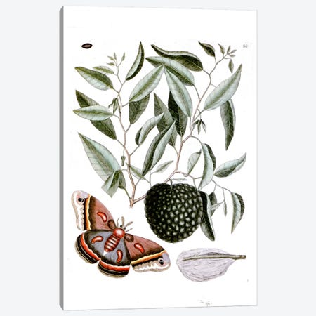 Cecropia Moth & Annona Reticulata (Custard Apple) Canvas Print #CAT42} by Mark Catesby Canvas Art