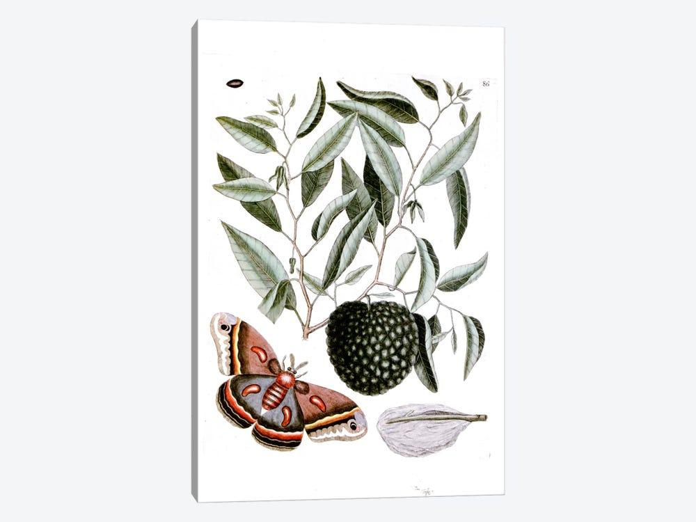 Cecropia Moth & Annona Reticulata (Custard Apple) by Mark Catesby 1-piece Art Print