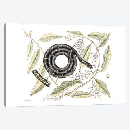 Chain Snake Canvas Print #CAT43} by Mark Catesby Canvas Artwork