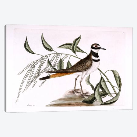 Chattering Plover & Sorrel Tree Canvas Print #CAT44} by Mark Catesby Canvas Art Print