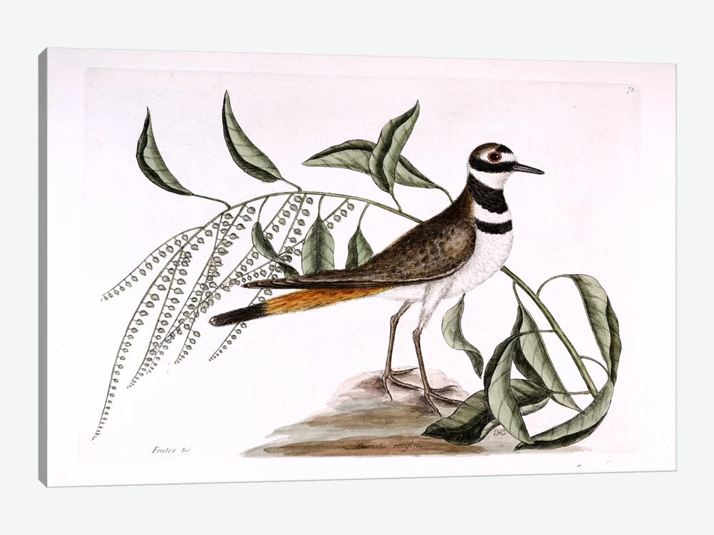 Chattering Plover & Sorrel Tree by Mark Catesby 1-piece Canvas Art Print