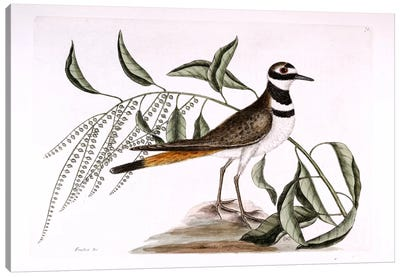 Chattering Plover & Sorrel Tree Canvas Art Print