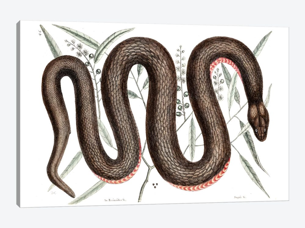 Copper-Bellied Snake & Ilathera Bark by Mark Catesby 1-piece Canvas Print