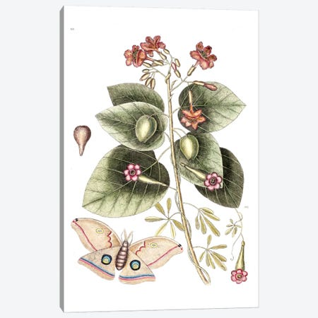 Cordia Sebestena (Geiger Tree), Ipomoea Carolina & Great Moth Canvas Print #CAT47} by Mark Catesby Canvas Art Print