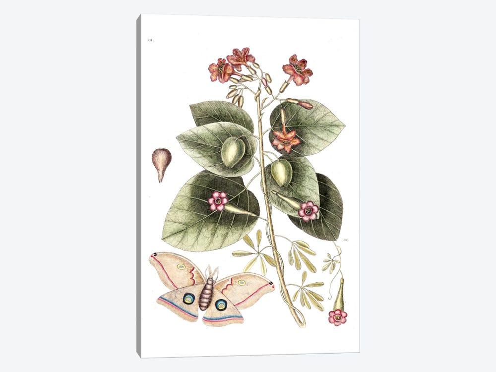 Cordia Sebestena (Geiger Tree), Ipomoea Carolina & Great Moth by Mark Catesby 1-piece Canvas Artwork