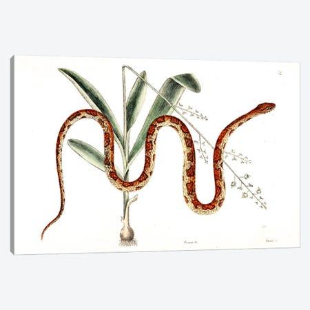 Corn Snake & Viscum Caryophylloides Canvas Print #CAT48} by Mark Catesby Canvas Art