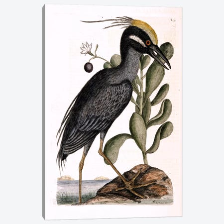Crested Bittern & Lobelia Frutescens Canvas Print #CAT49} by Mark Catesby Canvas Artwork
