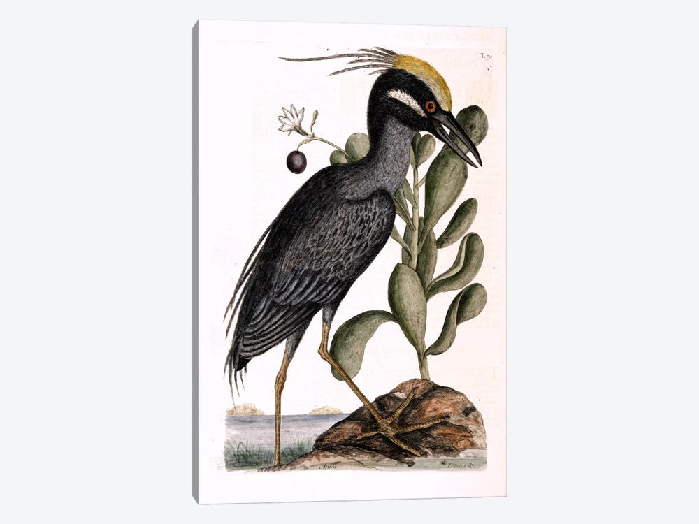 Crested Bittern & Lobelia Frutescens by Mark Catesby 1-piece Canvas Art