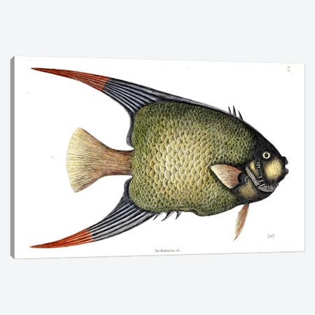 Angel Fish Canvas Print #CAT4} by Mark Catesby Canvas Art