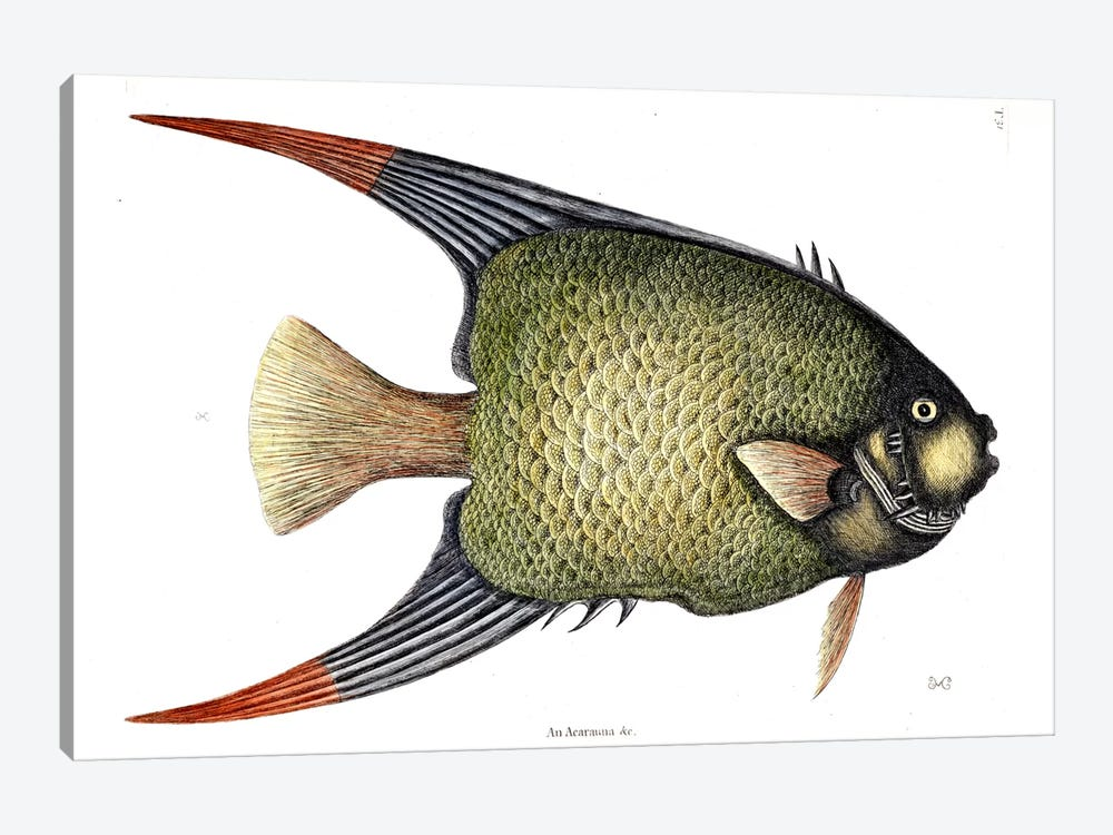 Angel Fish by Mark Catesby 1-piece Canvas Artwork