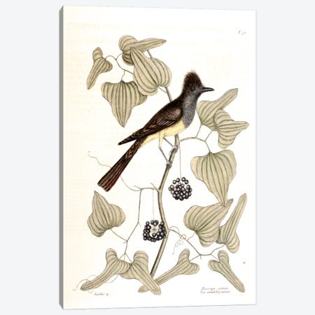 Crested Flycatcher & Smilax Tamnoides (Bristly Greenbrier) Canvas Print #CAT50} by Mark Catesby Art Print