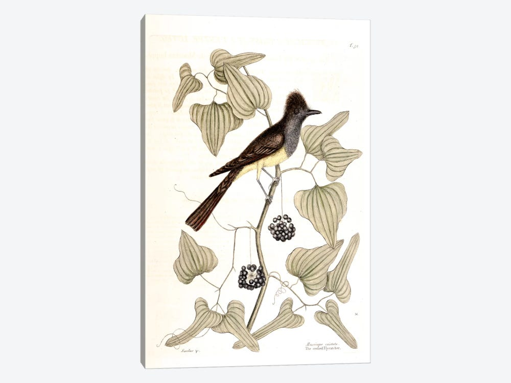 Crested Flycatcher & Smilax Tamnoides (Bristly Greenbrier) by Mark Catesby 1-piece Canvas Wall Art